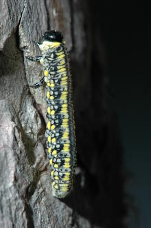 A yellow and black caterpillar-like larva with a black head