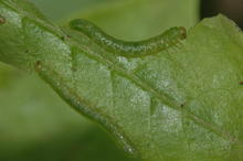 Two green caterpillar-like larvae blending into the color of the leaf and feeding on the edges of a green azalea leaf