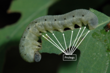 Light green caterpillar with eight pairs of leg-like structures