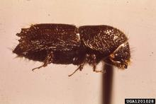 Close up side view of pine bark beetle