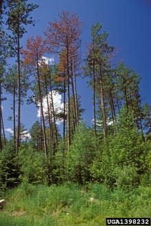 Pine trees with discolored, brown needles from pine beetle damage