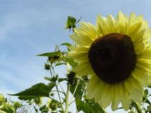 Yellow 'Lemon Queen' sunflower with green foliage and blue sky in the background.