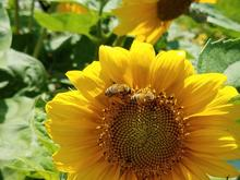Yellow  'Music Box Mix' sunflower with two bees on the flower head.