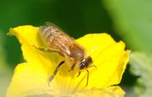 Honey bee feeding on nectar of a yellow squash flower