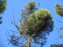 Tree infected with dwarf mistletoe