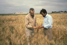 1970s photo of two men in a wheat field, one a U professor and one a Moroccan graduate student