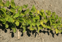Managing Iron Deficiency Chlorosis