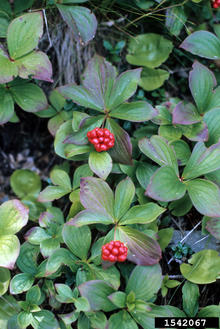 Tiny, bunch-like berries on a green plant