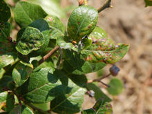 Green leaves that are curling and have brown spot on blueberry plant.