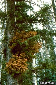 Section of spruce tree with large mass of discolored branches in the middle.