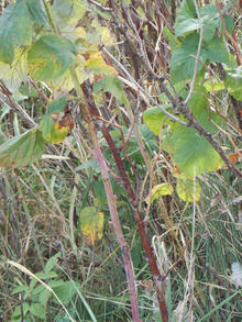 Yellowing leaves on raspberry canes with spur blight.