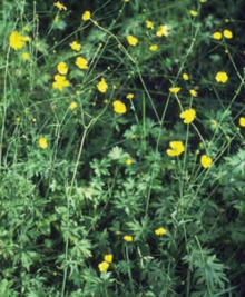 Tall buttercup plant