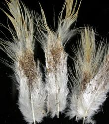 Dark stains and mites on white vent feathers of a chicken