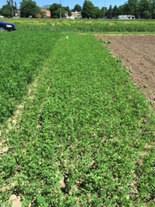 alfalfa test plot with full regrowth