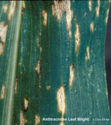 green corn leaf with tan lesions with brown edges.