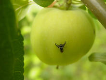 A black fly-like insect on a green apple