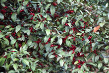 close up of many red autumn olive berries