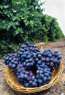 basket of wild grapes