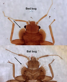 comparison of a bat bug to a bed bug with bed bug on top and bat bug on bottom