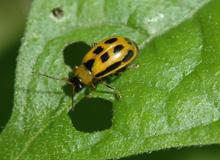 Yellow beetle with black spots feeding on a green leaf