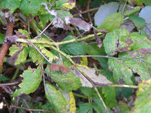 Brown spots and patches on raspberry leaves