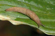 A slimy brownish slug on a green leaf