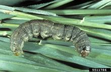 Dull brownish caterpillar on green stems