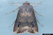Brown moth with patches of white markings