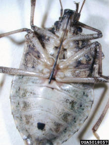 Underside of a brown marmorated stink bug