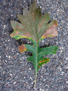 Oak leaf with wedge-shaped brown areas.