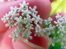 person holding small burnet saxifrage flowers