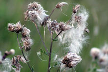 Canadian thistle seeds tufted