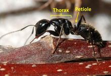 Closeup of carpenter worker ant with evenly rounded thorax and one-segmented petiole. The word 'thorax' indicates the section right after the head. The word 'petiole' indicates the section after the thorax and before the last section of the ant's body.