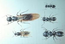 Different species of carpenter ants (males, winged females and workers) are of different sizes
