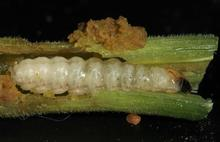 Squash vine borer caterpillar causing damage to a squash vine