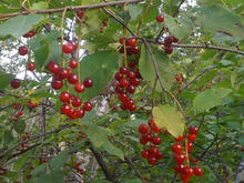 Bright red, tiny round berries hanging from a branch