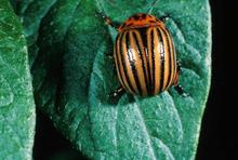 Orange beetle with black lines seen on a leaf