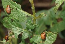 Orange beetles with rows of black spots on their bodies feeding on half eaten leaves