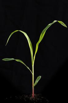corn seedling with 3 leaves