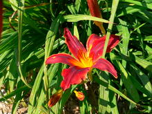 A red and gold flower in front of narrow dark green leaves