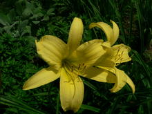 Two yellow flowers in front of narrow dark green leaves