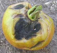 yellow tomato that has a large black decayed spot