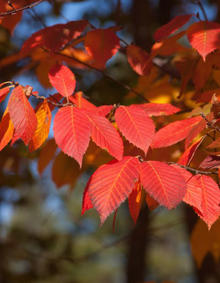 Red-orange leaves of a blue beech tree