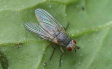 A spinach leafminer fly laying eggs on the underside of a spinach leaf.