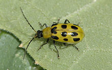 A yellow beetle with several black spots on its back