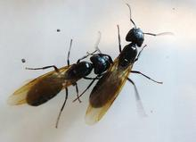 Two winged carpenter ant queens side by side.