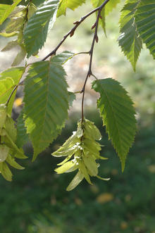 Light green hop-like fruit hanging on a branch with green leaves