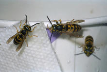three yellowjackets on a paper napkin and paper cup