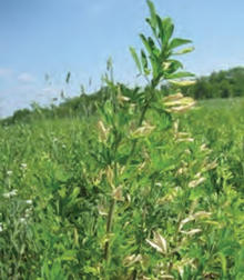 Frost-injured alfalfa