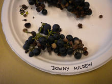 infected grapes on paper plate